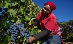 Vendimia en Sudáfrica