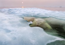 """Paul Souders. """"The Ice Bear"""". Grand Prize. 2013 National Geographic Photography Contest"""