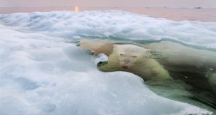 "Paul Souders. ""The Ice Bear"". Grand Prize. 2013 National Geographic Photography Contest"