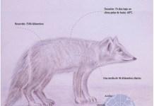 Infografía del viaje de la zorra ártica