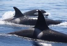 CIRCE alerta sobre la contaminación de orcas y delfines en el Atlántico y Mediterráneo