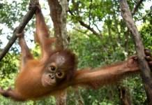 Greenpeace: Un orangután bebé de un año, Jelapat, juega en el árbol en la Fundación de Supervivencia orangutana de Borneo (Nyse Menteng, Kalimantan Central). Jelapat fue confiscado a un residente el 21 de junio de 2016 en South Barito, Kalimantan Central, después de que el propietario lo retuviera desde diciembre de 2015.