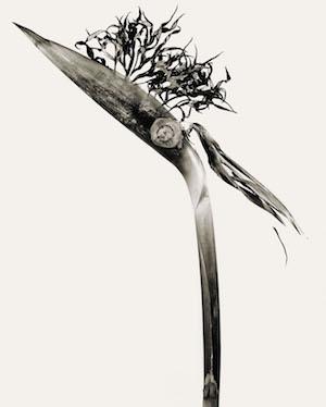 Fontcuberta: herbarium giliandria