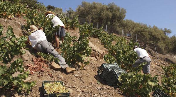 Vendimia de la uva pasa en Málaga