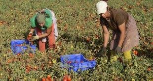 Mondelo: recolectoras de tomates en Miajadas, Extremadura, España