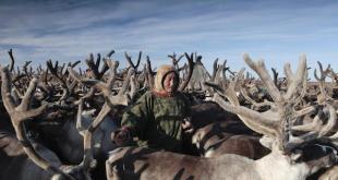Greenpeace: Un hombre Nenet indígena con sus renos. La gente de Nenets se mueven cada 3 o 4 días para que sus vacas no pastan sobre el suelo. Toda la región y sus habitantes están bajo una fuerte amenaza del calentamiento global a medida que aumentan las temperaturas y se derrite el permafrost antiguas de Rusia.