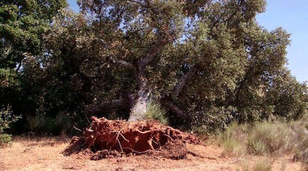 Encina arrancada de raiz en el pueblo de Retortillo, Salamanca, para la búsqueda de Uranio