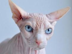 Esta especie de gato llama la atención de cualquiera debido a la ausencia de pelaje en su cuerpo. Sin embargo, la esfinge o gato esfinge (Sphynx) sí tiene vello. Se trata de una leve capa sumamente delgada y casi imperceptible tanto a la vista como al tacto. Esta característica es el resultado de una mutación a nivel genético y por ello podemos considerarla como una de las especies animales más raras del mundo. Contrariamente a lo que muchos creen, se trata de una mutación natural y los primeros aparecieron en la década de los 60 en Canadá. Hoy muchas personas gozan de su compañía como mascota.