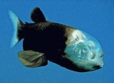 Este pez llamado vulgarmente Pez Ojos de Barril (Barreleye Fish) pertenece a un grupo de peces de aguas profundas que han desarrollado un conjunto único de accesorios anatómicos para adaptarse a su particular estilo de vida. La característica más singular de este pez es su cabeza transparente y los ojos en forma de barril dentro de ella.