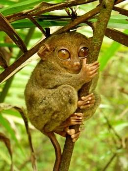 Los tarseros o tarsios (género Tarsius) son primates muy bizarros, poseen enormes ojos, pies alargados y cuerpo pequeño. Son insectívoros (aunque a veces comen culebras y pájaros), nocturnos y solitarios, y en muchas de las regiones donde habitan los consideraban demonios. Los puse en esta lista no sólo por es uno de los primates más pequeños (miden entre 11 y 15 cm) sino porque personalmente me recuerdan al cuco.