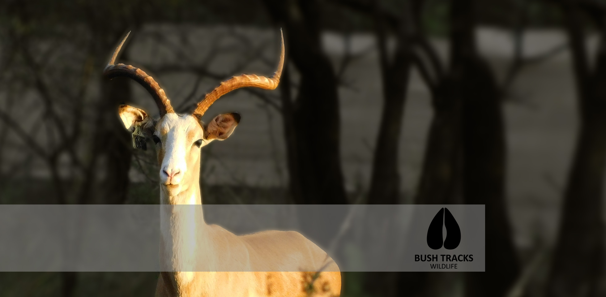 Peri Peri Creative - WHITE-IMPALA-Bush tracks-Wildlife