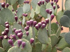 025 Prickly Pear Cactus