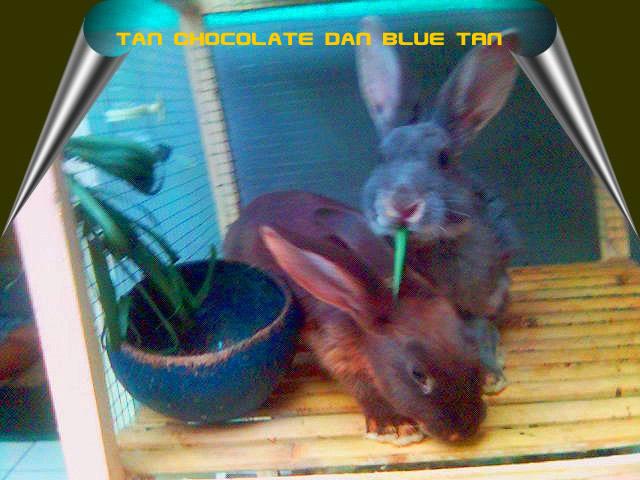 kelinci tan coklat biru hitam