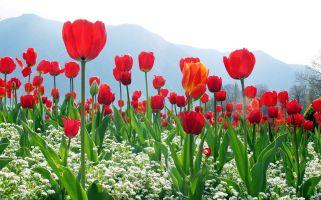 Tulip Fields of Turkey
