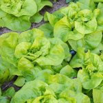 Head Lettuce 1