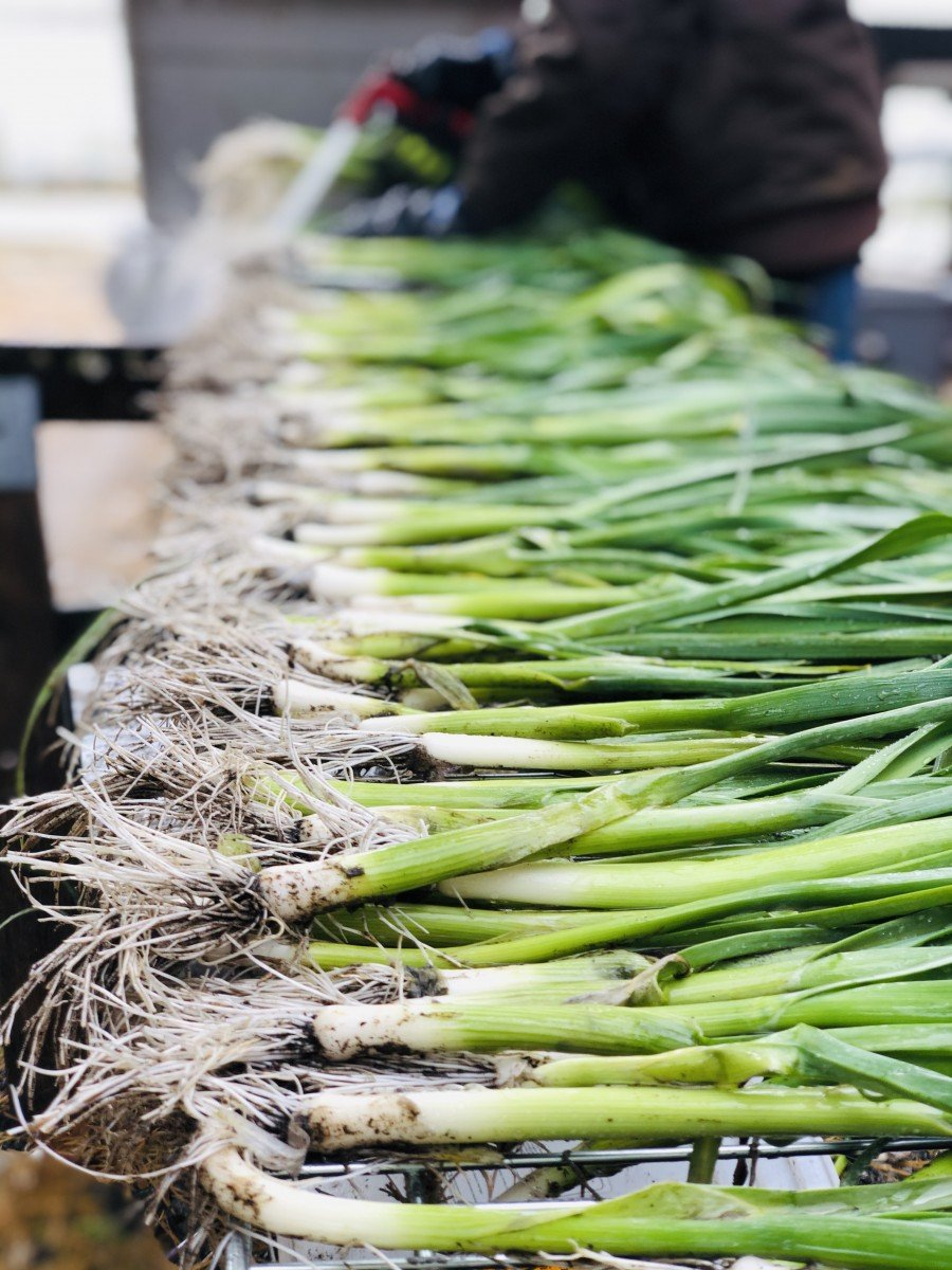 washing leeks in fall