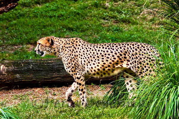 The Cheetah is the fastest land mammal in the world. Classified as Vulnerable (VU) on the IUCN Red List, some of its subspecies are actually Critically Endangered. This wonderful specimen is a guest at the Smithsonian National Zoo in Washington, D.C.