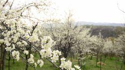 Śpiew ptaków w kwitnącym sadzie…