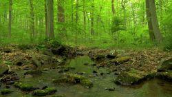 Cichy szmer strumienia w zielonym lesie…