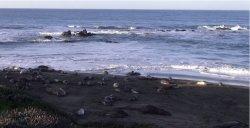 Podsłuchiwać młode lwy morskie na wybrzeżu Kalifornii…