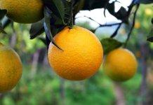 Permacultura Sicilia arancia