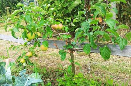albero mela nano permacultura