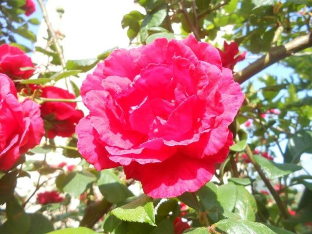 rosa sara elke carozzo
