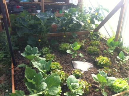 Cucumbers, aubergines and lettuce