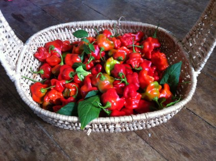 Today's chilli harvest at Zaia and Tom Kendall's permaculture farm in Queensland