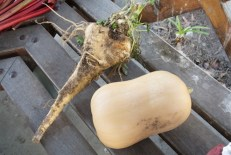 Large butternut and parsnip