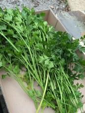 parsley1