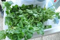 parsley2