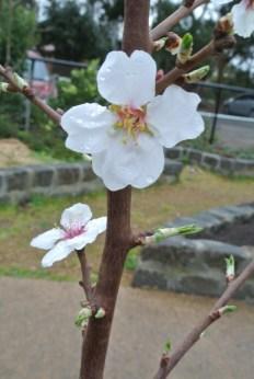 blossoms_glenpark