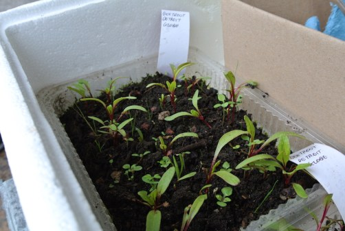 beetroot_seedlings