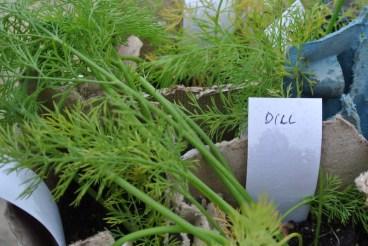 dill_seedlings