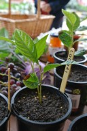 loquat_seedlings