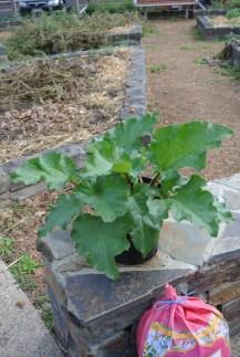 rhubarb_plant