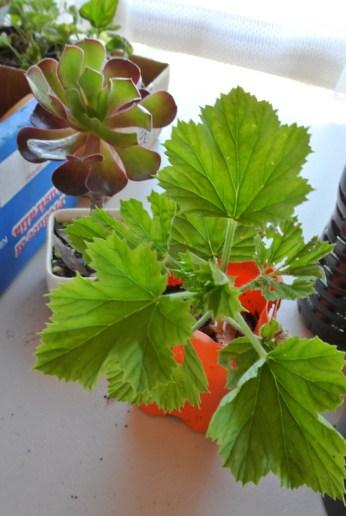 geranium_succulent