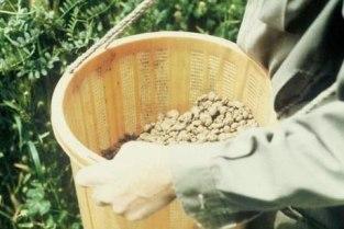 we wiaderku kulki nie-kulki raczej bryłki nasienne