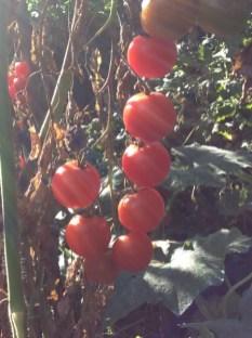 Milanówek Krystyna Słowik pomidory 2