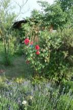 Lawendy i róże razem.