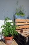 sałata i pomidory na tarasie