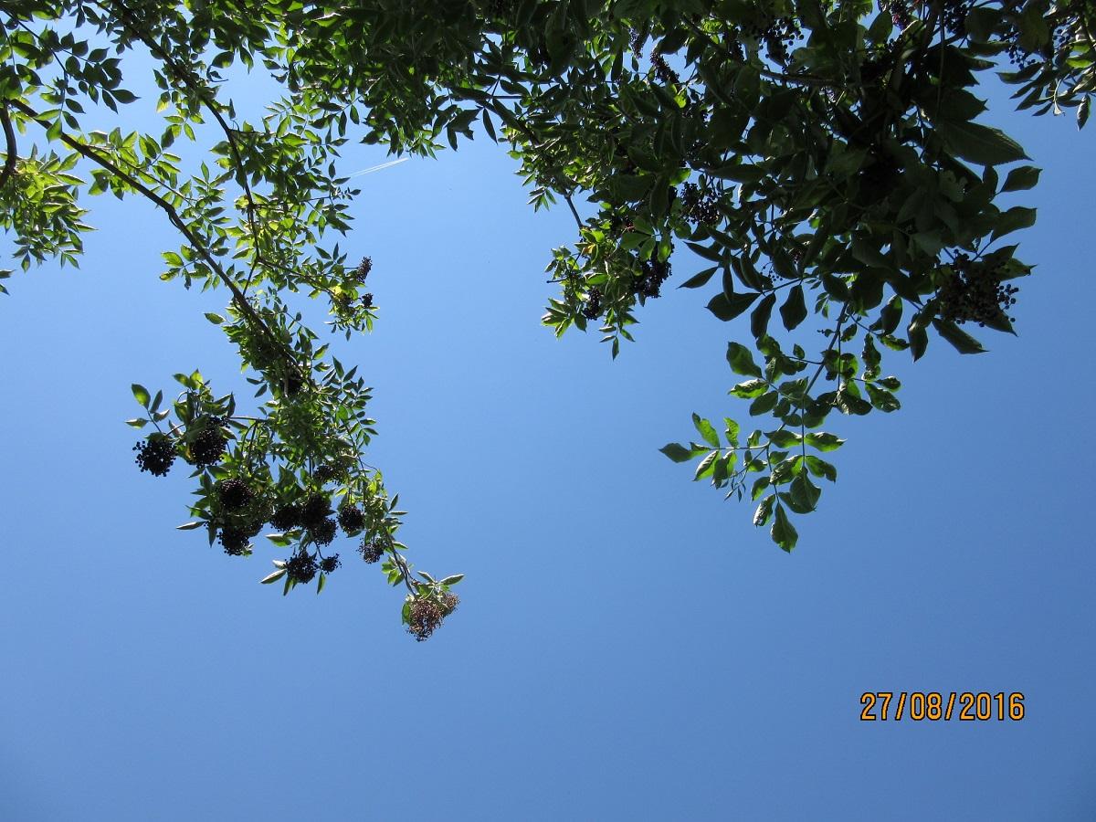 Owocujący bez z pozycji horyzontalnej