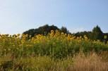 Pole obsiane mieszanka dla owadów zapylających. W sierpniu dominowały słoneczniki.
