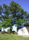 Drzewo Kaczego.. król miejsca
