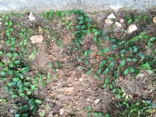 Barwinek zadarniający brzegi trawnika