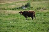 Prawie szczęśliwa krowa sąsiadki... :)