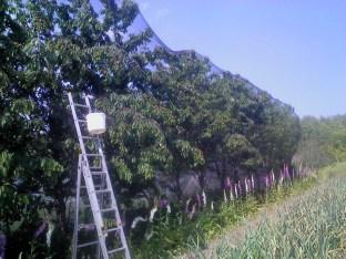 Wczesna odmiana czereśni Rivan przykryta siatką przed szpakami. Pod nimi kwitnie naparstnica a z tyłu żywopłot.