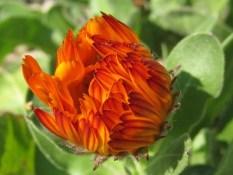 OGNJIČ Ognjič je zdravilna rastlina, ki je nujno potrebna v vsakem vrtu. Izboljšuje tla in je dober sosed skoraj vsem rastlinam, ki rastejo na vrtu, še posebej pa naslednjim: bazilika, brokoli, buče, kumare, krompir, zelje, paprika, paradižnik, šparglji. Mladi cvetovi so užitni, dodajamo jih v solate. Iz sušenih cvetov izdelujemo znano ognjičevo mazilo za kožo (nanašamo jo v zelo tanki plasti). Na vrt jo sadimo na razdalji 40 do 50 cm.