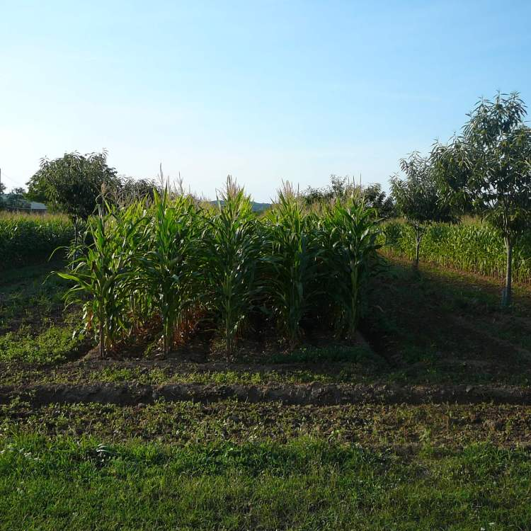 Agroforst